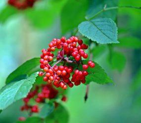 Ashwagandha – liečivá bylina našich predkov